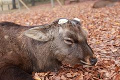 Deer with cut off antler laying down on the falling leaves floor at the park in Nara, Japan. The park is home to hundreds of freely roaming deer stock images