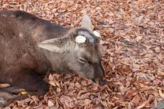 Deer with cut off antler laying down on the falling leaves floor at the park in Nara, Japan. The park is home to hundreds of freely roaming deer royalty free stock photos