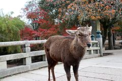 Deer with cut off antler standing on the bridge at the park in Nara, Japan. The park is home to hundreds of freely roaming deer royalty free stock photo