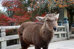 Deer with cut off antler standing on the bridge at the park in Nara, Japan. The park is home to hundreds of freely roaming deer royalty free stock images