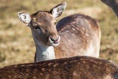 Deer dama female in nature, european wildlife animal or mammal in wild Royalty Free Stock Image