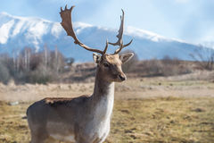 Deer dama male in nature, european wildlife animal or mammal in wild Royalty Free Stock Image