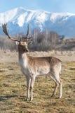 Deer dama male in nature, european wildlife animal or mammal in wild Royalty Free Stock Photos