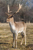 Deer dama male in nature, european wildlife animal or mammal in wild.  Royalty Free Stock Images