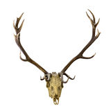 Deer dark antlers with skull on white Stock Photos