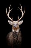 Deer on dark background Stock Photography
