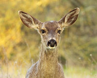 Deer With Dead Eye Stock Image