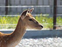Deer. At a zoo park in Klaipeda stock image