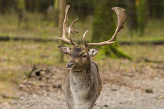 Deer. N wildpark Forest bayern Germany Stock Photography