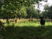 A deer. Deers in phoenix park Royalty Free Stock Images