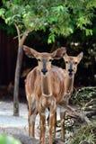 Deer. 2 Deers in Singapore zoo Royalty Free Stock Photo