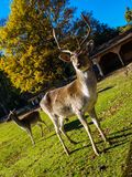 Deer. S in sunny day (Germany Stock Photos