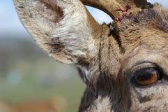 Deer Detail. Facial detail of red deer with antler injury royalty free stock photo
