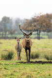 Deer and doe Stock Image