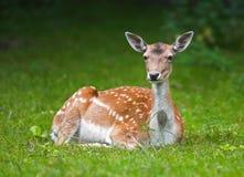 deer doe Стоковое Фото