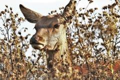 Deer, Doe, Animal, Nature, Wildlife Stock Photos