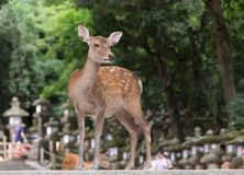 Free Deer -doe At Japan Village Stock Photos - 162183233