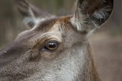 Deer doe closeup. A female deer doe in the forest, close-up Royalty Free Stock Photo