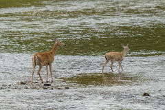 Deer and doe crossing river. Stock Images