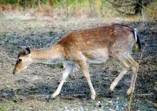 Deer doe. Little deer doe in a deer farm Stock Photos
