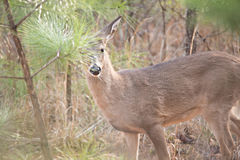 Deer doe looking around depp thick forest Stock Photo