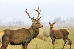 Deer and doe. Red deer stag and doe in forest landscape of foggy misty stock image
