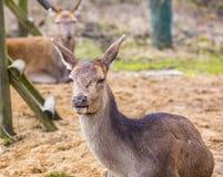 Deer doe resting on ground Stock Image