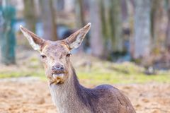 Deer doe resting on ground Royalty Free Stock Photography