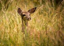 Deer Doe Standing in Tall Grass Stock Photography