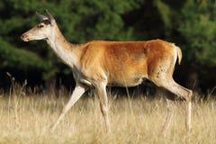 Deer doe walking in a glade. ( Cervus elaphus, female Royalty Free Stock Images
