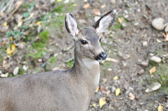 Deer Doe in Wild Stock Photo
