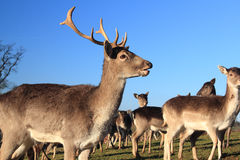 Deer and does Royalty Free Stock Photography