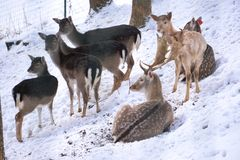 Deer and does during winter royalty free stock photo