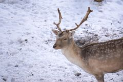 Deer and does during winter royalty free stock photography