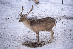 Deer and does during winter royalty free stock image