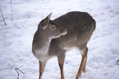 Deer and does during winter stock photography