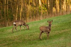 Deer doing a dull face stock photography