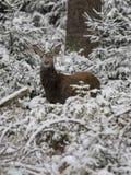 Deer. Door elaphus certs nature deer jervis wild snow hind Stock Photography