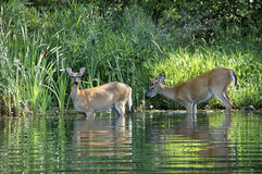 Deer Drinking Stock Photo