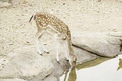 Deer drinking Royalty Free Stock Photos