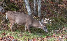 Deer drinking in the forest. Tongue out. Fall folliage surrounding Stock Images