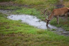Deer drinking from pond royalty free stock photo