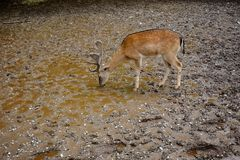 Deer drinking royalty free stock image