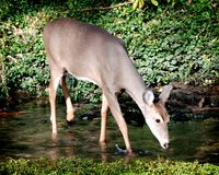 Deer in Stream. Deer Drinking from a Stream Stock Images