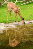 Deer drinking water Royalty Free Stock Photography