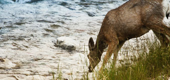 Deer drinking water Royalty Free Stock Photos