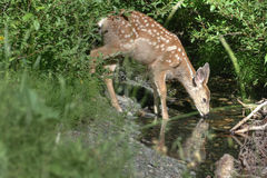 Deer drinking water. Close up of female deer drinking water in countryside Stock Image
