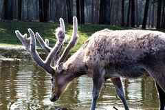 A deer drinking water Stock Photo