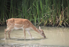 Deer drinking water Royalty Free Stock Image