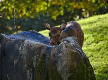 Deer drinking water from a rock royalty free stock photo